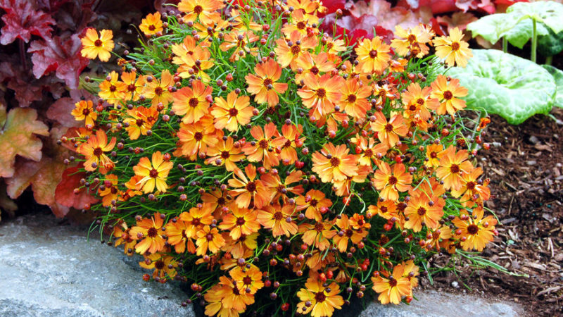 20 best perennial flowers sunset magazine coreopsis mango punch mightylinksfo