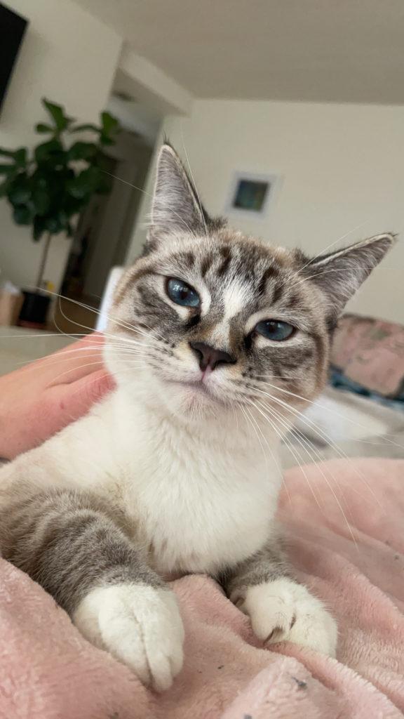 Kitten Rescue Blue-Eyed Cat Named Emu