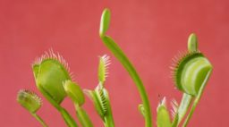 The Carnivorous Plant That's Taking Over TikTok -- and Its Hungry Friends