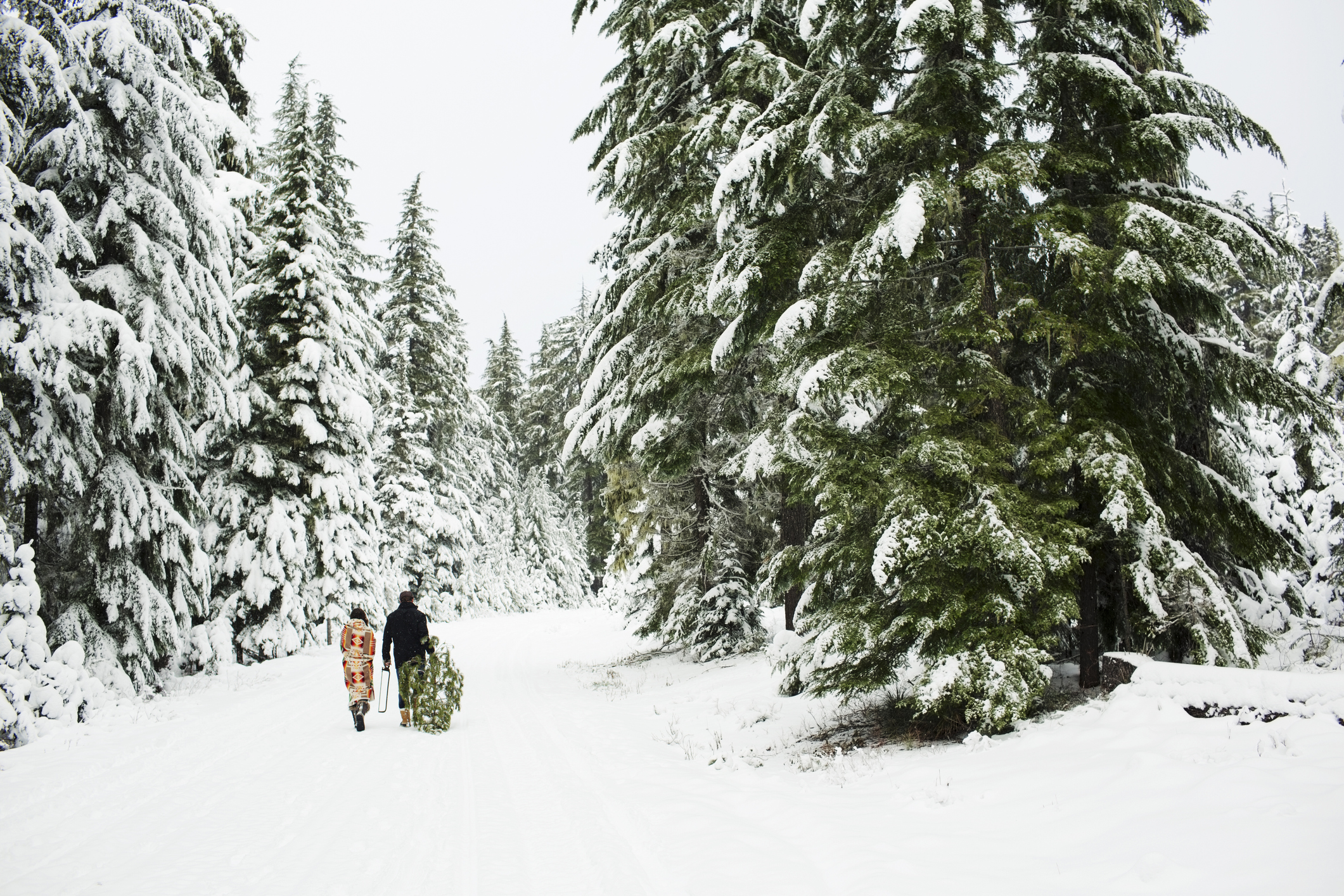 Couple walking with pine tree in national forest while cutting down Christmas tree