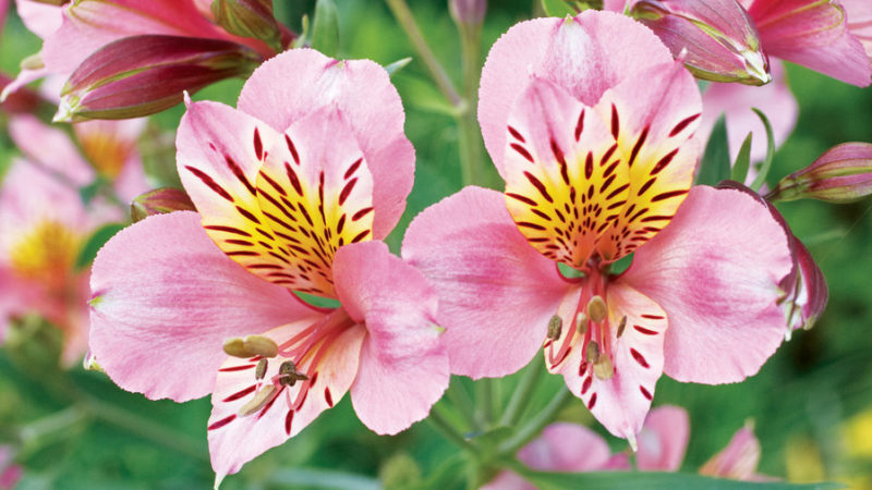 20 best perennial flowers sunset magazine mightylinksfo