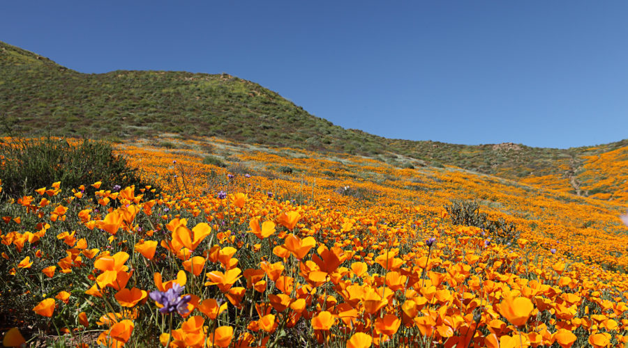 Lake Ensinore, CA Poppy Super Bloom