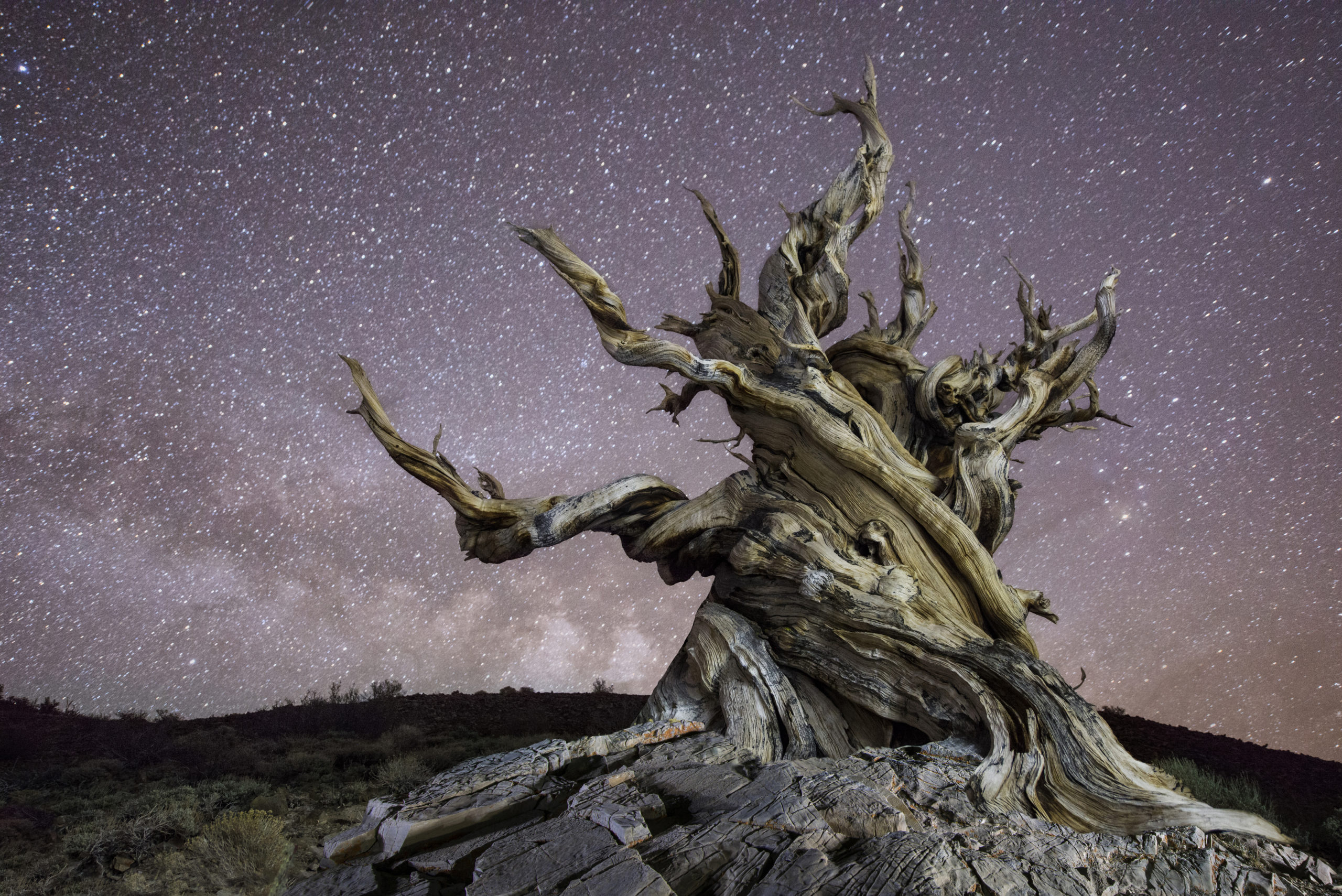 old trees methuselah bristlecone pine