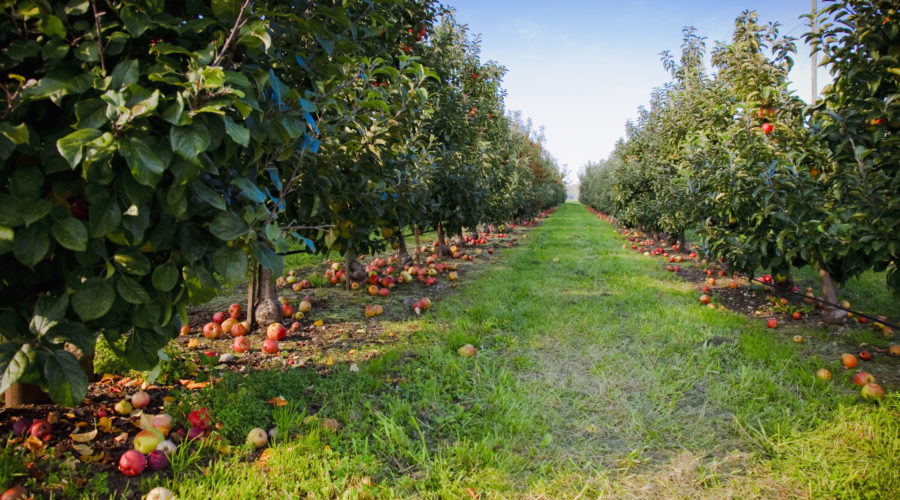 The Best Apple Picking Orchards In The West For Fall U Pick Sunset Magazine