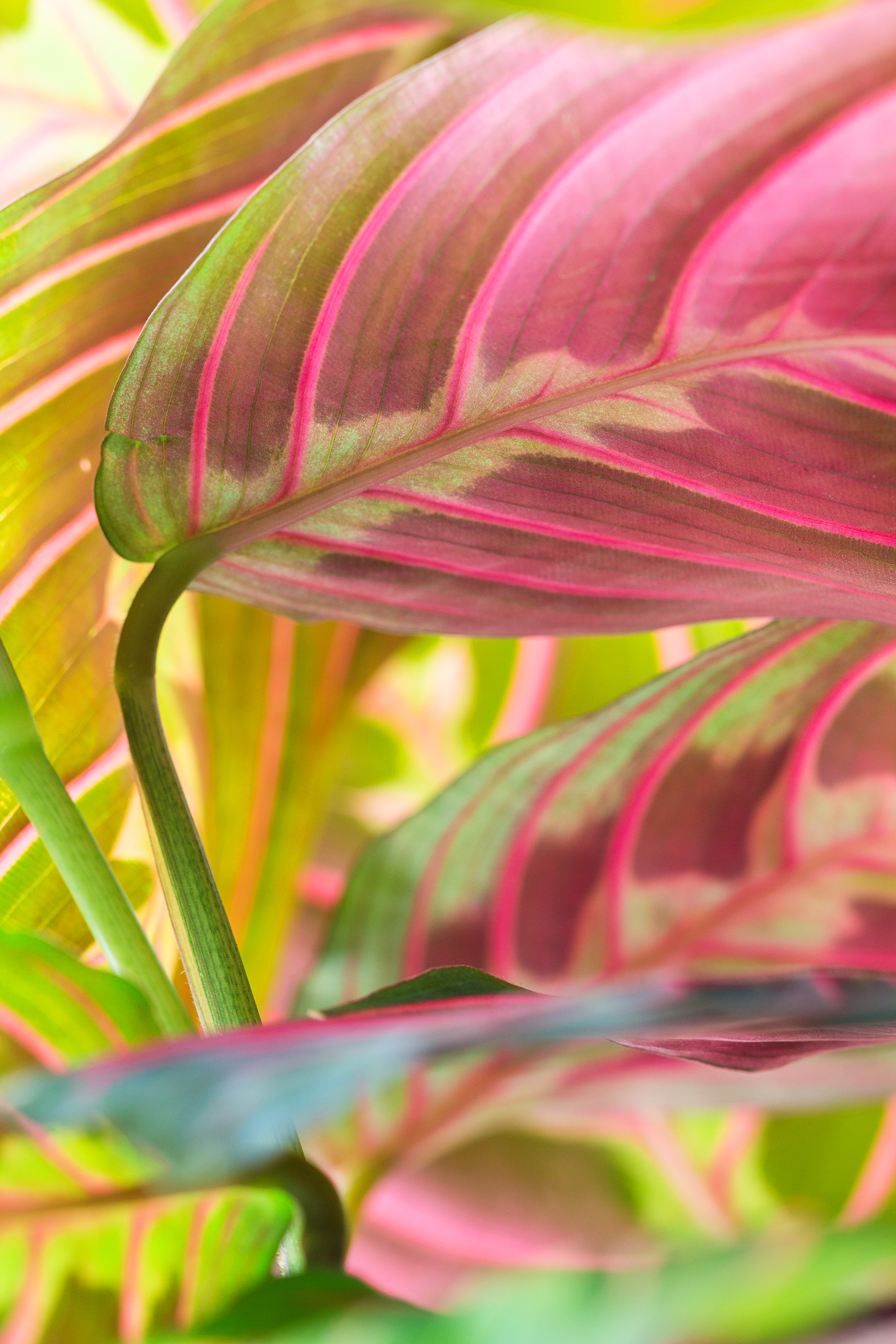 Pink Leaved Plants Are The New Houseplant Trend To Watch Sunset Sunset Magazine