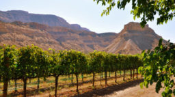 Vineyards with red rock mesas in background in one of Colorado's under-the-radar wine country, Grand Valley