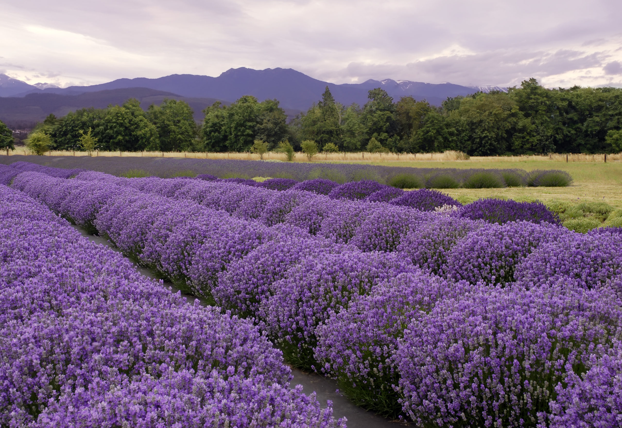 lavender in Sequim