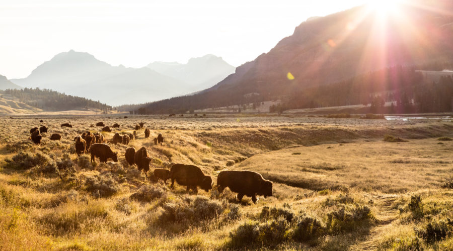 Bison group on the move at sunrise in Lamar Valley, a place you must see in Yellowstone